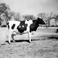 Champion Bull at Hawthorn-Mellody Dairy Farms